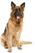 Caldwell Animal Rescue - German Shephard