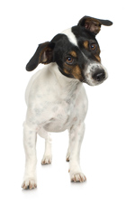 Caldwell Animal Rescue - Jack Russell Terrier