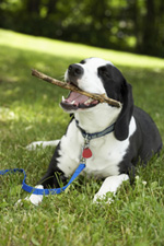 Caldwell Animal Rescue - Black and White Dog with a stick in it's mouth
