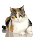 Caldwell Animal Rescue - Calico Cat