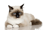 Caldwell Animal Rescue - Siamese cat
